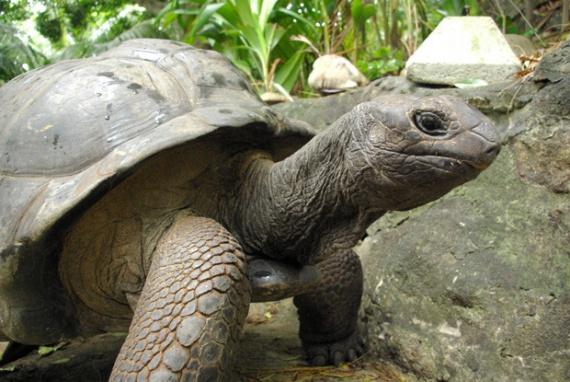 Самые большие и добрые черепахи - на Сейшелах