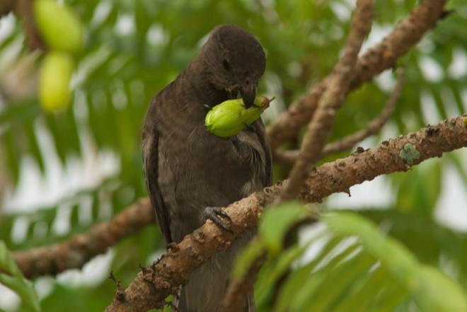 Экзотического черного попугая можно встретить лишь в Национальном парке